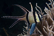 Banggai Cardinalfish