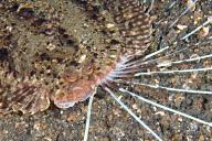 Cockatoo Flounder