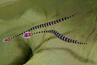 Ringed Pipefish
