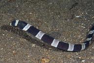 Harlequin Eel