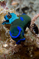 Tambja morosa nudibranch