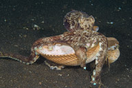 Octopus with Shell