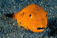 Juvenile Star Puffer