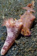 Mating Ceratosoma tenue Nudibranchs