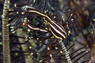 Crinoid Crab