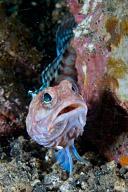Jawfish