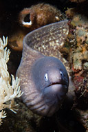 White Eye Eel