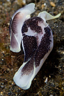 Chelidonura Sea Slugs