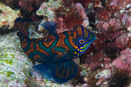 Mandarinfish