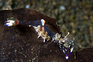 Periclimenes holthuisi Shrimp