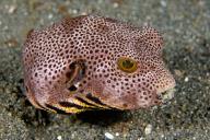 Juvenile Puffer Fish