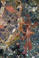 Frogfish with Orangutan Crab
