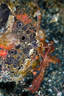 Frogfish with Orangutan Crab
