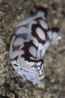 Philinopsis pilsbryi Slug
