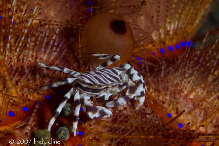Zebra Crab in Fire Urchin