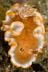 Glossodoris rufomarginata Nudibranch