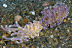 Phyllodesmium magnum Nudibranch Pair