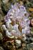 Phyllodesmium magnum Nudibranch