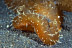 Giant Melibe Nudibranch