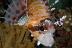 Spotfin Lionfish
