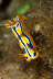 Chromodoris sp. Nudibranch