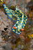 Hypselodoris infucata Nudibranch