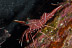 Durban Shrimp