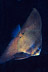 Juvenile Batfish