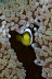 Juvenile Panda Anemonefish