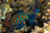 Posturing Male Mandarinfish