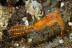 Leander plumosus Shrimp