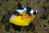Juvenile Yellowmargin Triggerfish