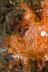 Rhinopias frondosa