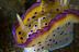 Chromodoirs kunei Nudibranch