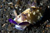 Chromodrois hintuanensis Nudibranch