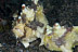 Mating Frogfish
