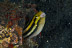 Sabretooth Blenny in Can