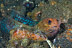 Jawfish