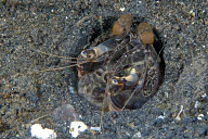 Lysiosquilla Mantis Shrimp