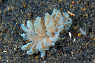 Phyllodesmium Nudibranch