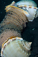 Cone Shells Laying Eggs