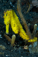 Thorny Seahorse