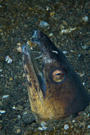Black Finned Snake Eel with Shrimp