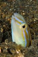 Snake Blenny