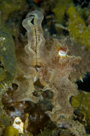 Juvenile Cuttlefish