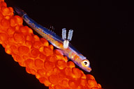 Wire Coral Goby with Parasite