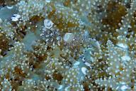 Periclimenes venustus Shrimp