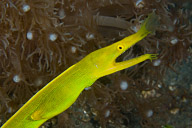 Female Blue Ribbon Eel