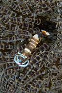 Periclimenes magnificus Shrimp