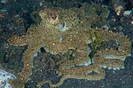 Longarmed Octopus